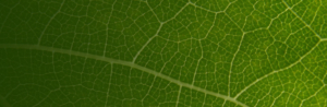 Natural Energizer Blatt