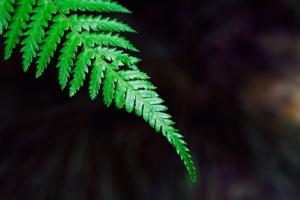Ein grüner Farn vor schwarzem Hintergrund