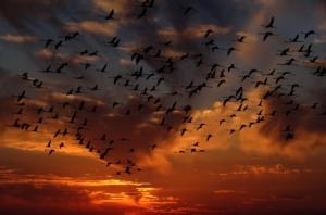 Ein Schwarm von Flamingos vor einem Sonnenuntergang