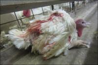 So werden fühlende Lebewesen für die Massentierhaltung verstümmelt