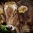 Du kannst kein Tierschützer sein, so lange du Fleisch isst!